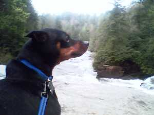 My dog enjoying the view at Dupont State Forest
